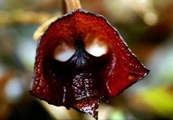 Orhideea Darth Vader
