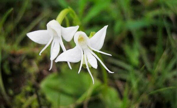 Orhideea inger