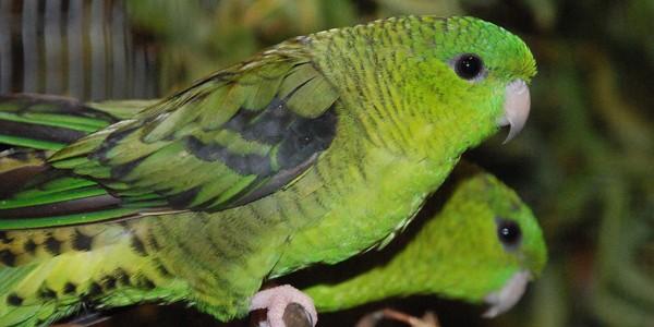 Papagalul vărgat, afectuos şi… tăcut