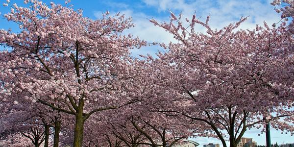 Terapia pomilor înfloriţi