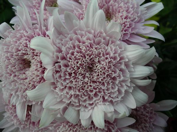 Flori 483