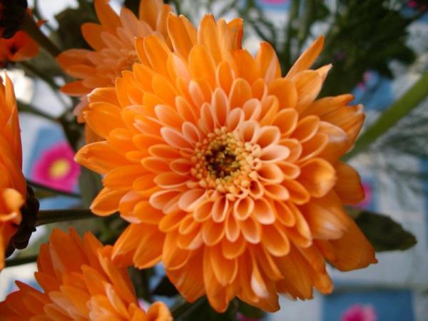 Flori 520