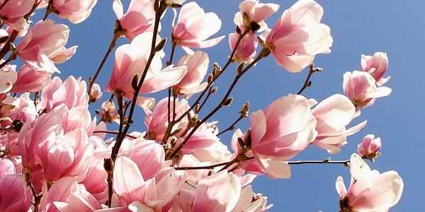 Leacuri din grădină: FLORILE DE MAGNOLIE