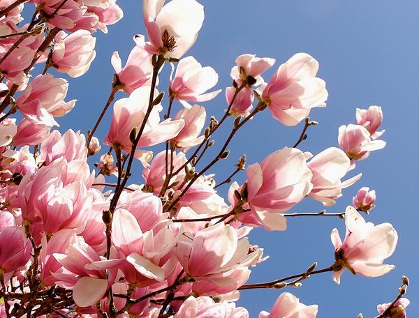 flori-magnolie