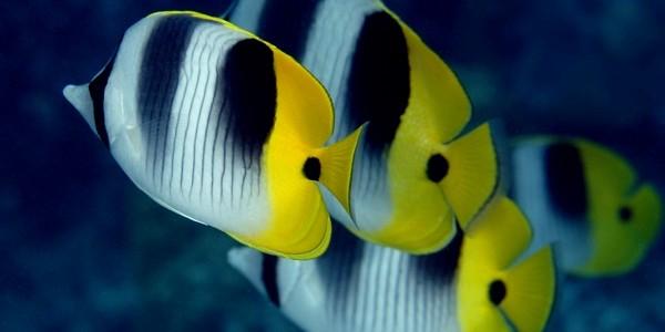 Peştele fluture Tahitian