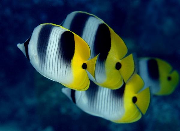 peste-fluture-tahitian