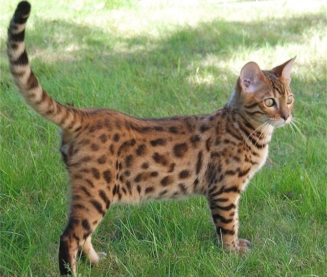 pisica-bengaleza