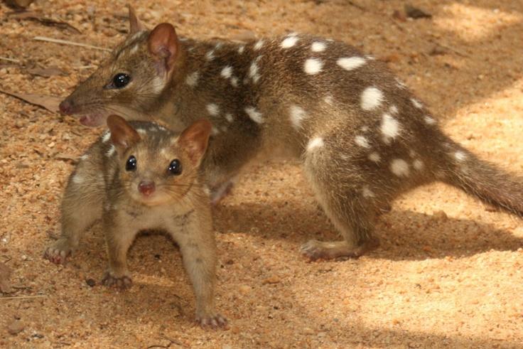 pisici-marsupiale