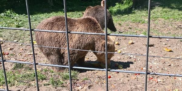 1 Iunie: copiii au acces gratuit la Rezervaţia de urşi de la Zărneşti