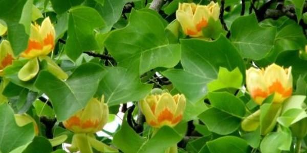 Grădina Botanică din Jibou – arborele cu lalele