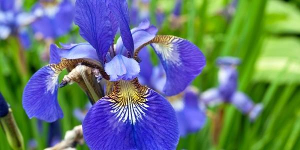 Iris, floarea ce poartă numele zeiţei soarelui
