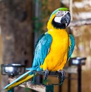 Papagalii Psittacine