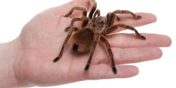 Tarantula, animal de companie mai neobişnuit