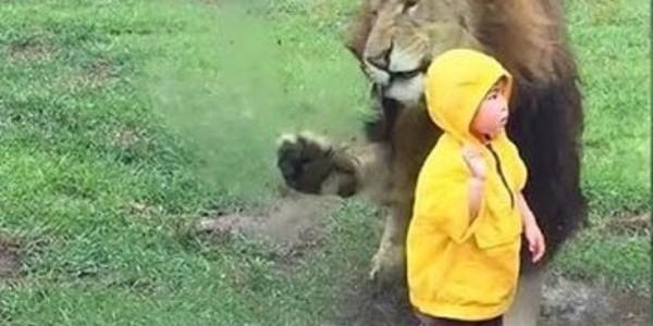 Un leu se aruncă asupra unui copil şi se ciocneşte de geamul incintei sale (video)