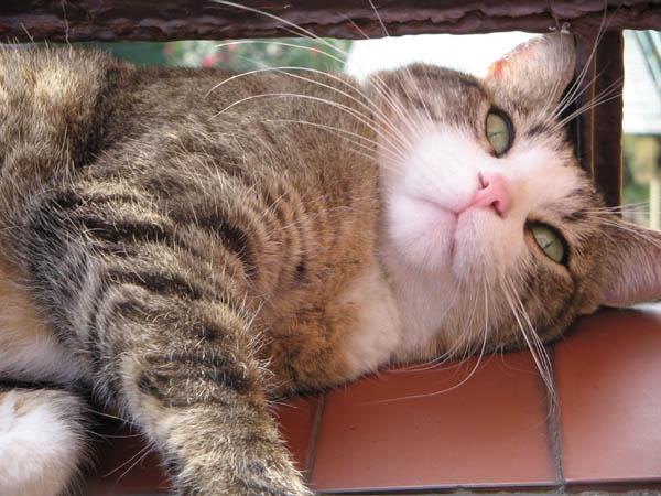 pisica-europeana-01
