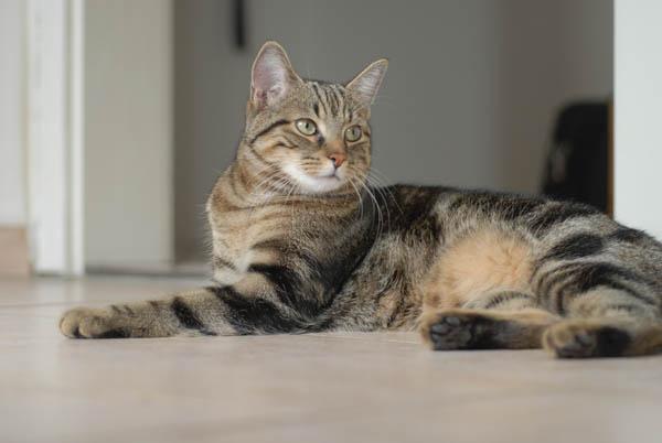 pisica-europeana-03