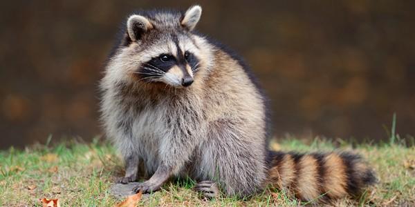 "Ratonul, ""banditul mascat"""