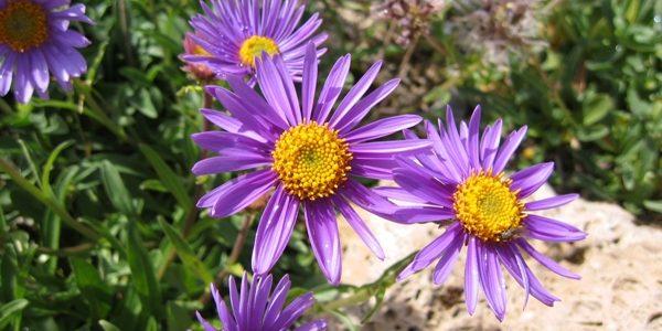 Aster, floarea în formă de steluţă