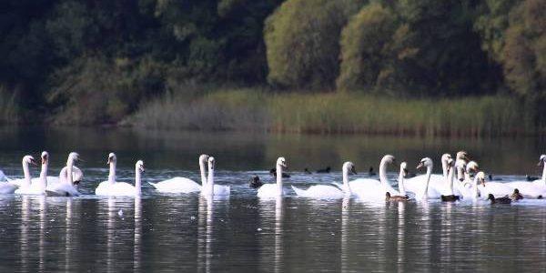 Lebedele de pe lacul Câşla anunţă o iarnă lungă