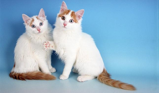 pisica-turceasca