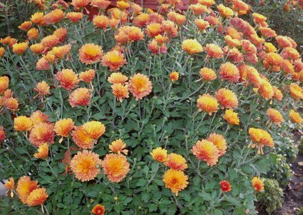 crizanteme_181