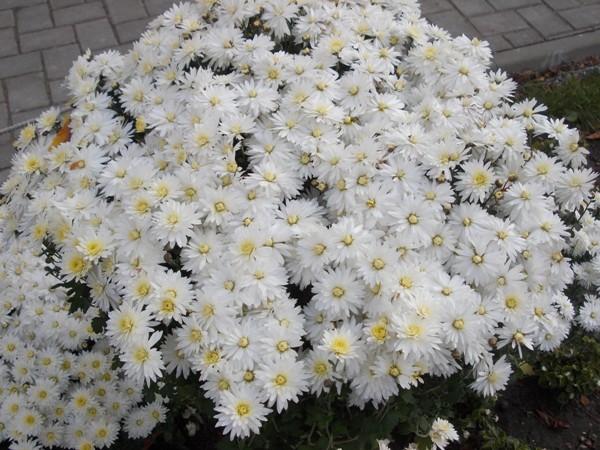 crizanteme_189
