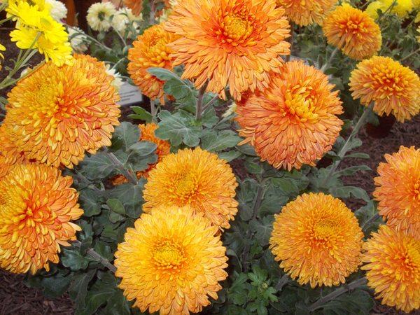 crizanteme_281
