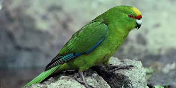 Papagalul Kakariki