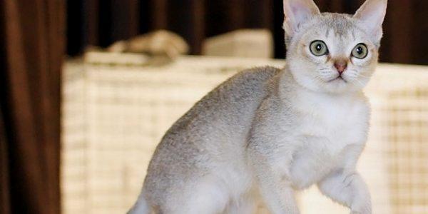 Pisica Singapura