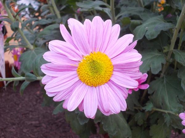 crizanteme_265