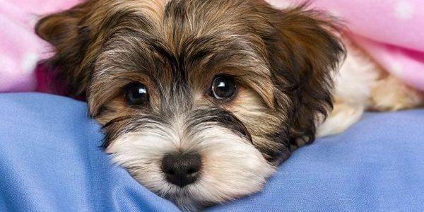 Şi câinii încărunţesc de la prea mult stres