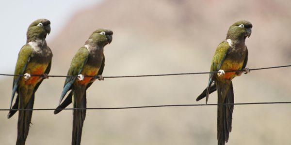 Papagalul patagonian