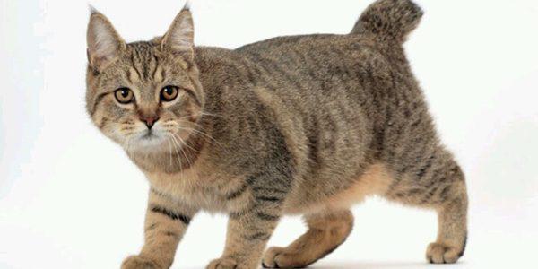 Pisica din rasa Pixie-Bob