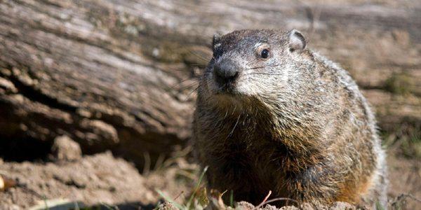 Ziua marmotei (Groundhog Day)